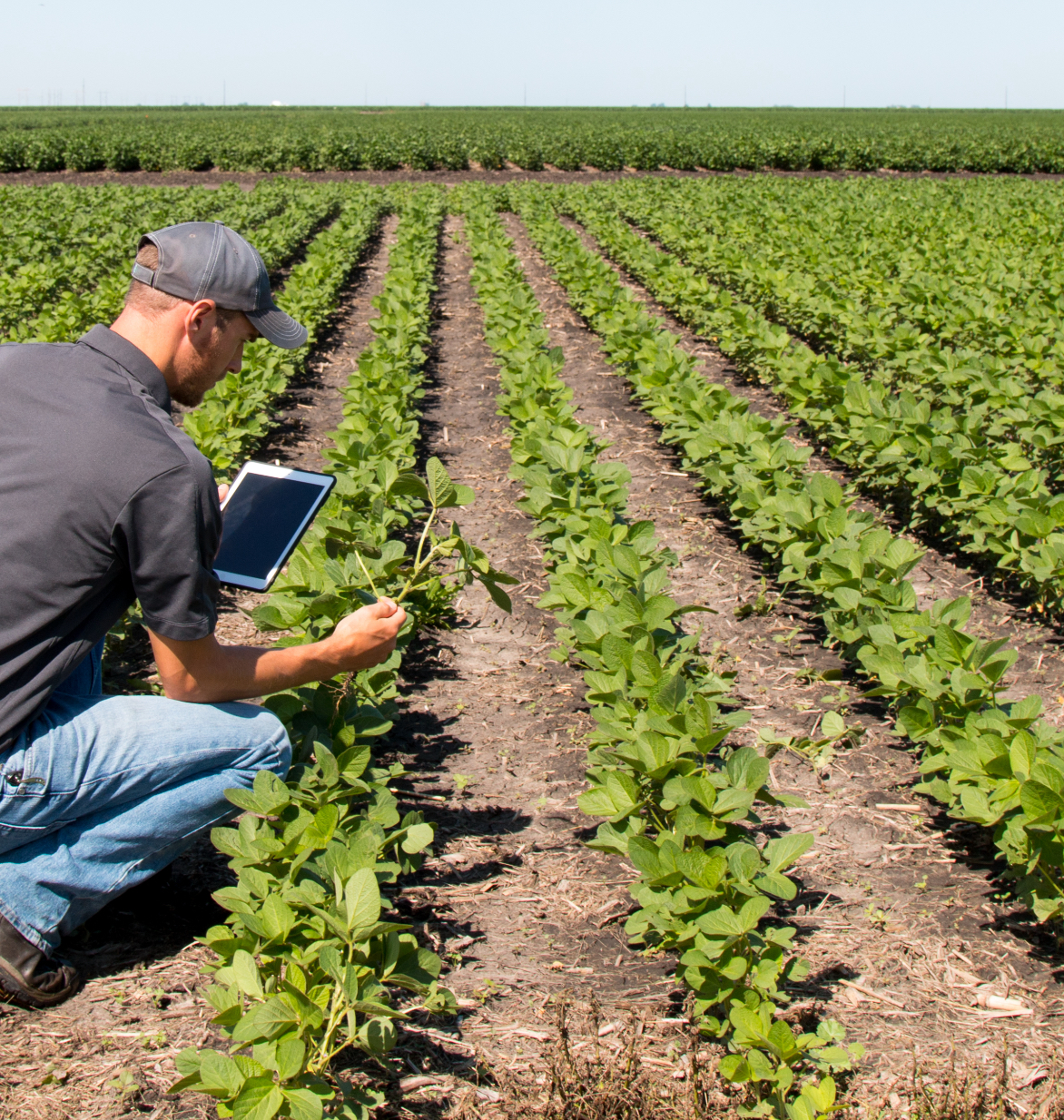 Man in row crops with technology device